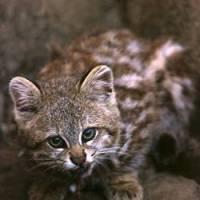 Gato gigante grabado en Nazca-Peru